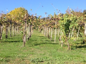 vines_wine_grapes_vineyard_carpinetto_tuscany_italy